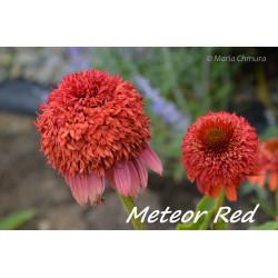 Jeżówka 'Meteor Red'