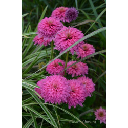 Jeżówka 'Pink Bonbon'
