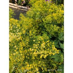 Nawłocioaster żółty 'Lemore'