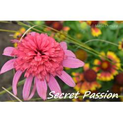 Jeżówka 'Secret Passion'