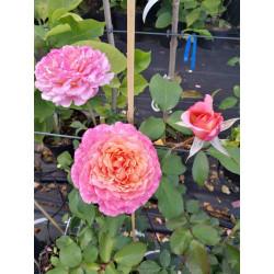 Róża 'Albrecht Dürer Rose'