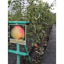 Jabłoń w odmianach