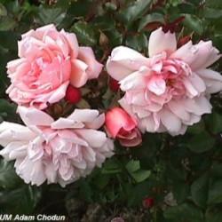 Róża 'Albertine'