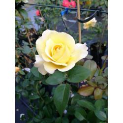 Róża 'Avec Amour'