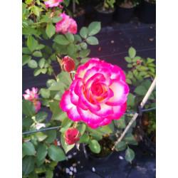 Róża 'Gorgeous Paramount'