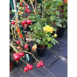 Róża jabłkowata 'Karpatia'