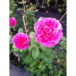 Róża 'Alexandra Renaissance'