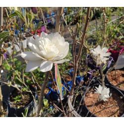 Magnolia 'Wildcat'