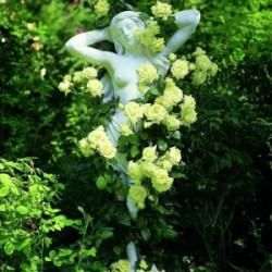 Róża 'Elfe'