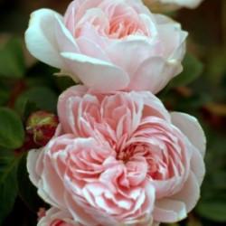 Róża 'Cinderella'