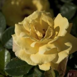 Róża 'Dukat'