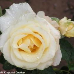 Róża 'Chopin'