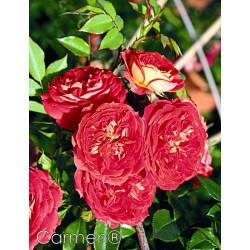 Róża 'Carmen'