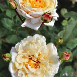 Róża 'Caramella'