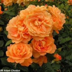 Róża 'Bernstein Rose'