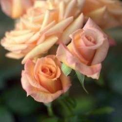 Róża 'Barock'