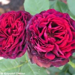 Róża 'Astrid Gräfin von...