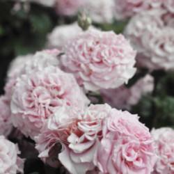 Róża 'Ashley'