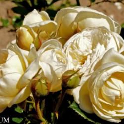 Róża 'Artemis'