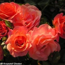 Róża 'Aprikola'