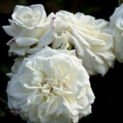 Róża 'Alabaster'