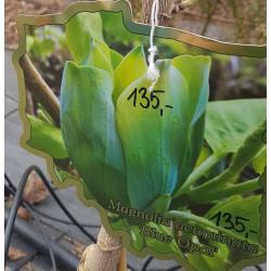 Magnolia drzewiasta 'Blue...
