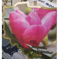 Magnolia 'Sweet Valentine'