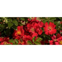 Róża 'Chimo'