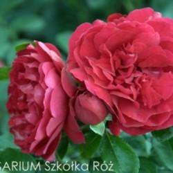 Róża 'Florentina'