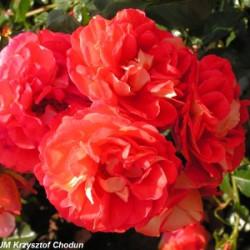 Róża 'Gebrüder Grimm'