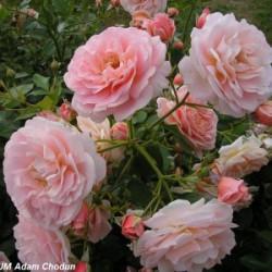 Róża 'Geisha'