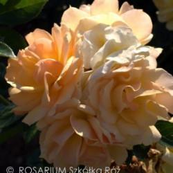 Róża 'Hansestadt Rostock'