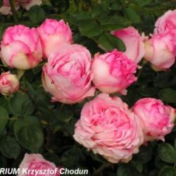 Róża 'History'