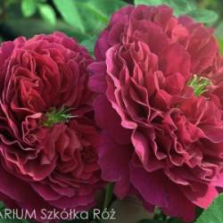 Róża 'Othello'
