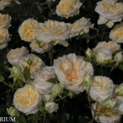 Róża 'My Girl'