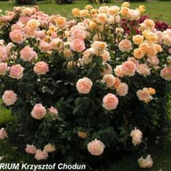 Róża 'Candlelight'