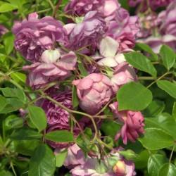 Róża 'Melina'