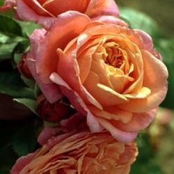 Róża 'Mary Ann'