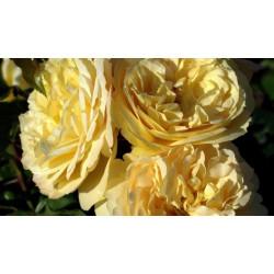 Róża 'Lampion'