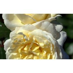 Róża 'La Perla'