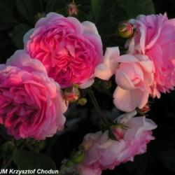 Róża 'Jasmina'