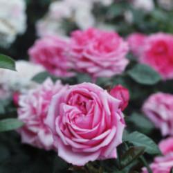 Róża 'Romina'