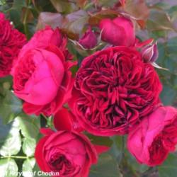 Róża 'Rotkappchen'