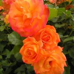 Róża 'Sahara'
