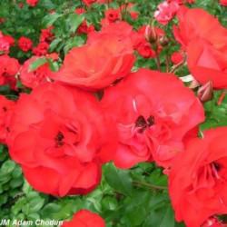 Róża 'Sangria'