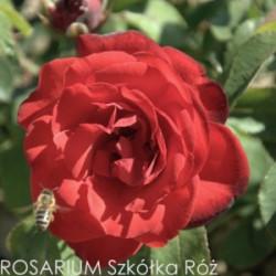 Róża 'Satchmo'
