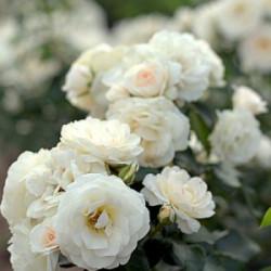Róża 'Sirius'
