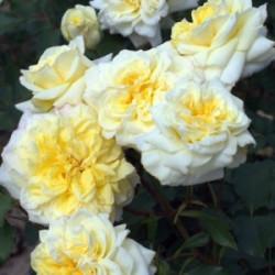 Róża 'Sterntaler'