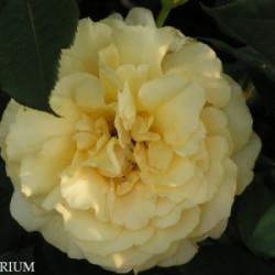 Róża 'Sunny Sky'