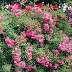 Róża 'Super Dorothy'
